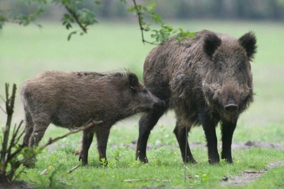 Jagersvereniging wil de jacht op everzwijnen makkelijker maken