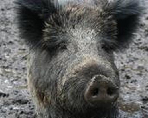 Opnieuw everzwijnen onderzocht op varkenspest