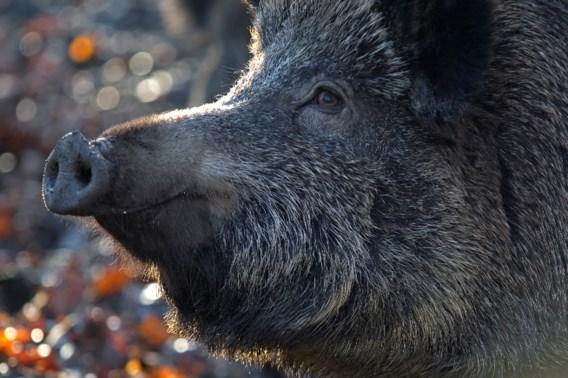Hoe de pest ook gezonde varkens doodt