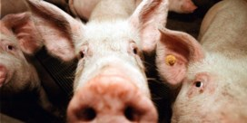 Afrikaanse varkenspest: Ducarme vraagt besluit om varkens in besmette zone te euthanaseren