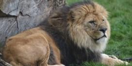 Bellewaerde verliest leeuw Figaro