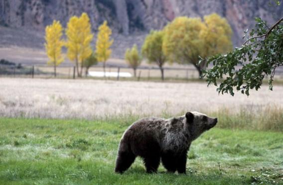 Grizzlyberen opnieuw beschermd rond Yellowstone
