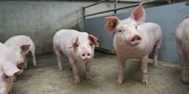 Praag controleert invoer Belgisch varkensvlees
