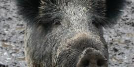 Al elf landen staken import Belgisch varkensvlees na vaststelling Afrikaanse varkenspest