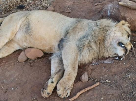 Vijf leeuwen afgemaakt in Zuid-Afrika: 'Ze hebben onze kinderen vermoord'