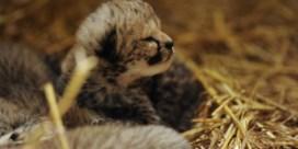 Feest in de Olmense Zoo: vier jachtluipaardjes geboren