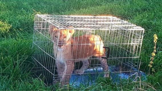 Voorbijganger vindt kooi met leeuwenwelpje in Nederlandse wei