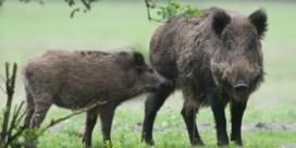 Al 98 dieren besmet met Afrikaanse varkenspest