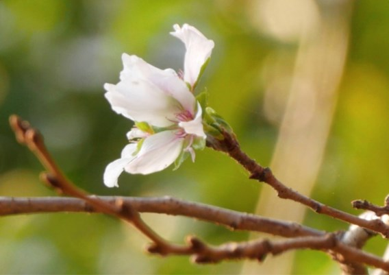 Japanse kerselaars nu al in bloei door tyfoon