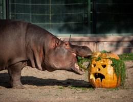 Dieren in Zoo van Antwerpen krijgen bijzondere Halloweenverrassingen