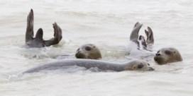 Sea Life laat zeehonden vrij aan kust