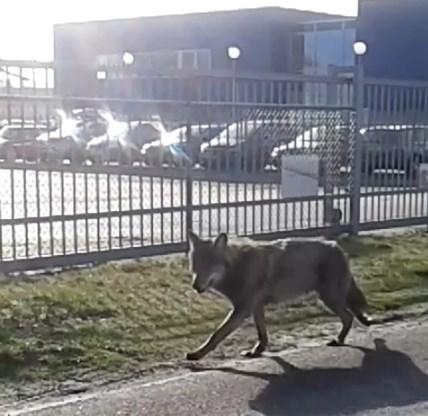Nederlandse wolven mogen geschoten worden