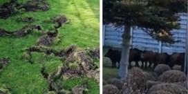Loslopende everzwijnen in Lommel: 'Hou je hond aan de lijn als je gaat wandelen'