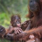 Greenpeace: 'Orang-oetans bedreigd door palmoliebeleid Mondelez'