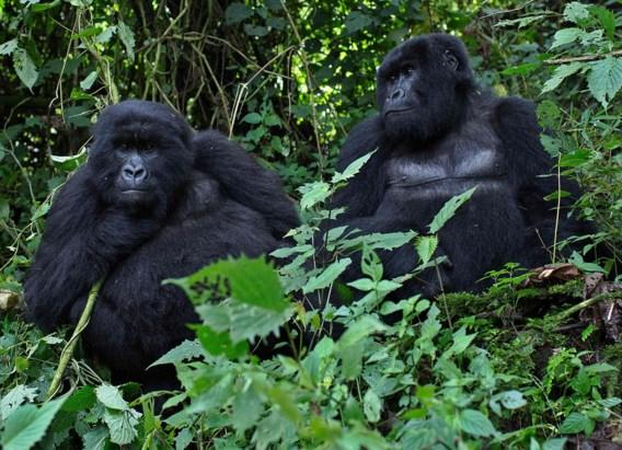 10.000 meer dieren- en plantensoorten op Rode Lijst, maar vinvis en berggorilla doen het beter