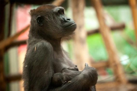 Gorilla geboren in Zoo van Antwerpen