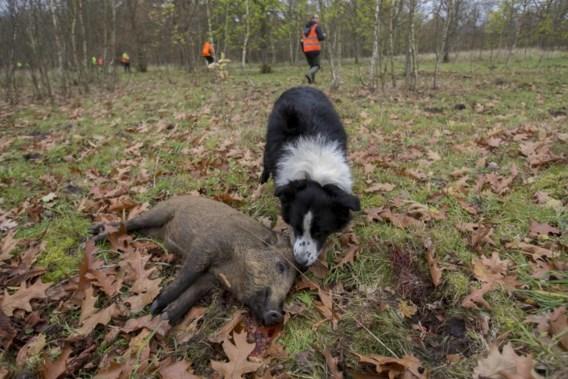 'Jacht is niet de juiste oplossing om overpopulatie everzwijnen aan te pakken'