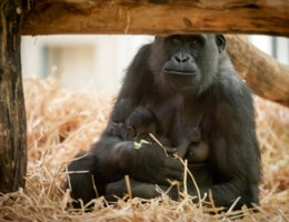 Gorillajong in Antwerpse Zoo is een meisje