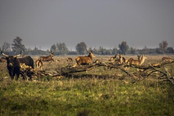 Afschieten van herten begonnen in Nederlandse Oostvaardersplassen