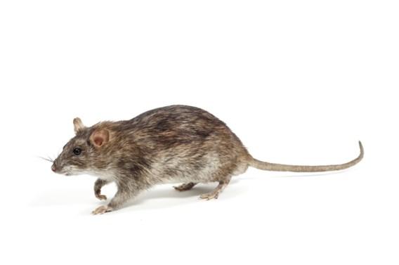Boete voor Rus die ratten los liet in parlement van Sint-Petersburg