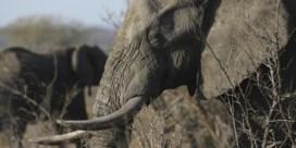 Meer dan 100 ivoren stukken in beslag genomen dit jaar