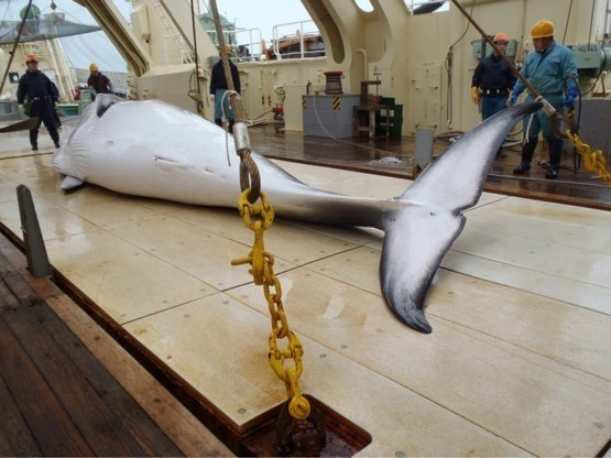Zet Japan nieuwe stap richting commerciële walvisvangst?