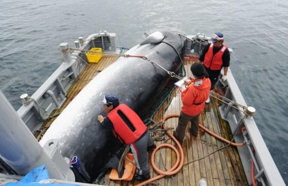Hernieuwde Japanse walvisjacht vooral slecht nieuws voor dwergvinvis