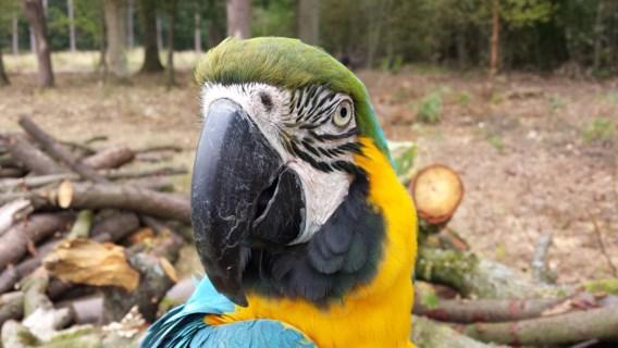 Jager schiet rondvliegende papegaai uit de lucht in Westmalle