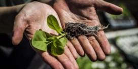 DNA-ingreep doet planten veel harder groeien