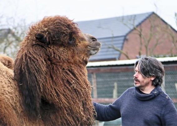 Kunstenaar verliest kameel door vuurwerk