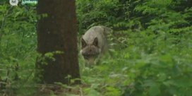 Jagers schrikken beschermde wolf op tijdens drukjacht