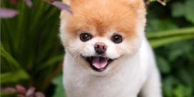Boo, de hond met 17 miljoen volgers, is dood
