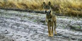 Zorgen om wolvin Naya door verdacht bloedspoor
