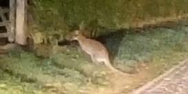 Kangoeroe huppelt al enkele weken in Kruisem rond