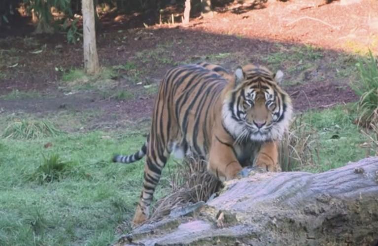 Tijgerin Melati gedood door paringspartner in Londense zoo