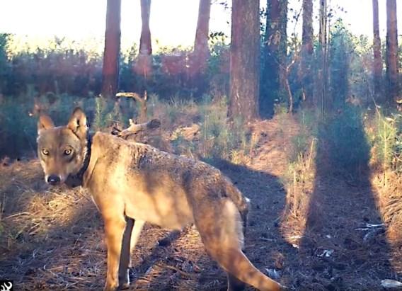 Verdacht bloedspoor niet van wolvin Naya, maar van everzwijn