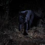 IN BEELD. Zeldzame zwarte luipaard gespot in Kenia
