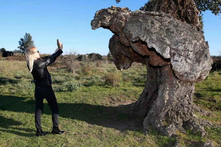 Franse 'boom van het jaar' staat op Corsica