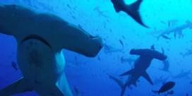 Duiker filmt groep van honderden hamerhaaien