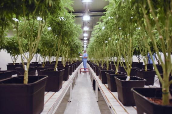 België krijgt cannabisbureau