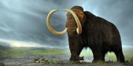 Ook neanderthalers aten mammoet, maar ze moordden hem niet uit