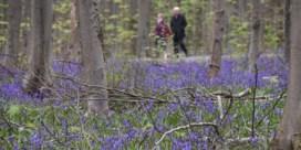 Gratis bussen voor bezoekers hyacintenzee in Hallerbos