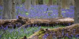 Vlaanderen betaalt hyacintenbussen