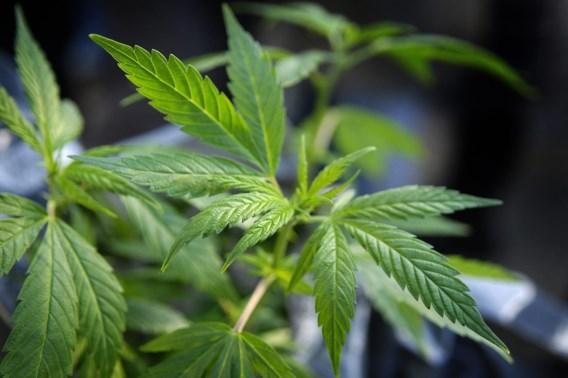 Politie treft cannabisplantage aan in Sint-Martens-Latem