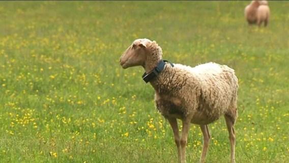 Halsband bij schapen moet de wolf afschrikken