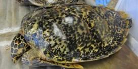 Handel in schildpadhoorn legde basis voor illegale visserij