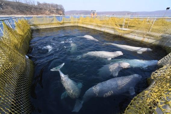 Rusland belooft tientallen orka's en dolfijnen vrij te laten uit 'gevangenis'