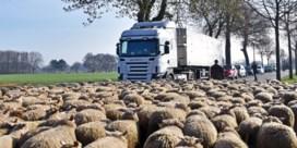 Schapenboer protesteert op N719met zijn driehonderd schapen