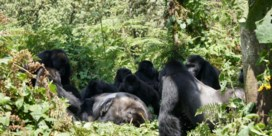 Gorilla's eren hun doden