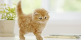 Brussel werkt aan verbod op hybride katten